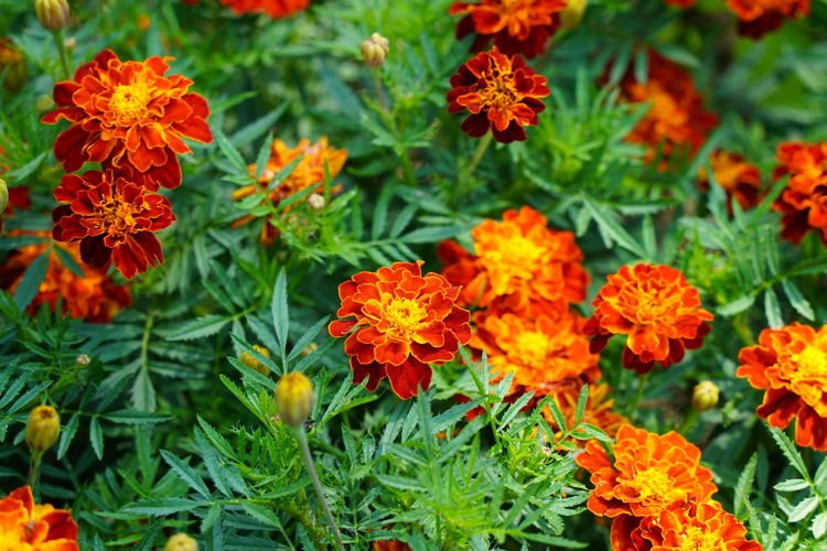High angle view of marigold flowers
