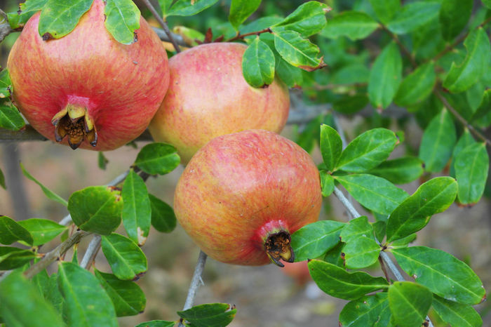 Chemistart Cyprus Limassol, Cyprus Pomegranates  Beauty In Nature Close-up Day Focus On Foreground Food Food And Drink Freshness Fruit Green Color Growth Healthy Eating Leaf Limassol Limassol Cyprus Nature No People Outdoors Plant Pomegranate Red Tree