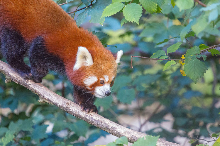Red Panda On Tree In Forest
