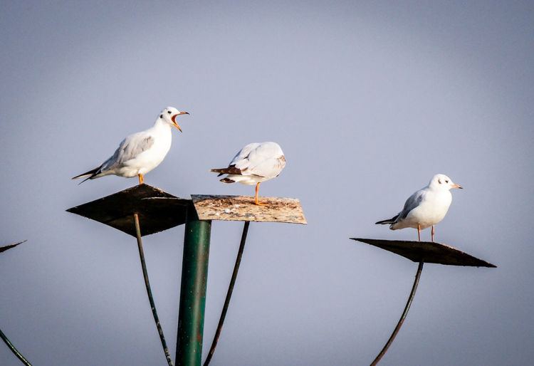 Seagulls perching on pole against clear sky