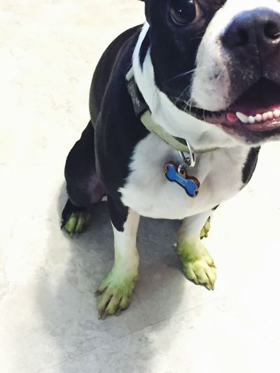 Salvador Doggie loves to help Matt with Mowing The Lawn Mowing MowingBuddy Green Things That Are Green Puppies Bostonterrier Happy Face