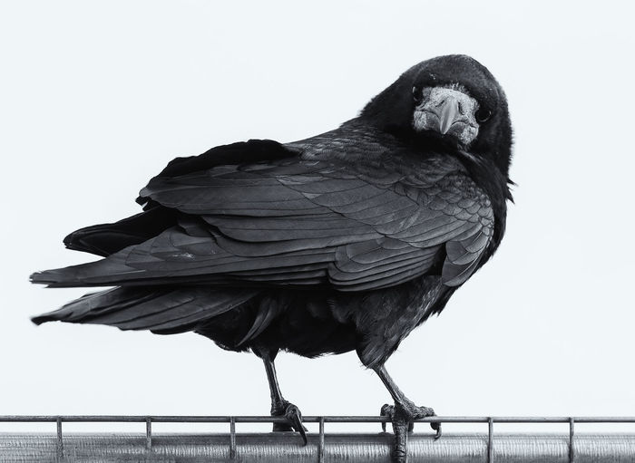 Raven Stare