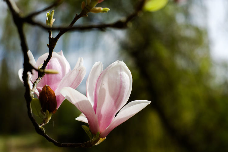 Flower Head Flower Tree Springtime Pink Color Leaf Petal Blossom Plant Part Branch Botanical Garden Flowering Plant Botany Magnolia Plant Life Pale Pink