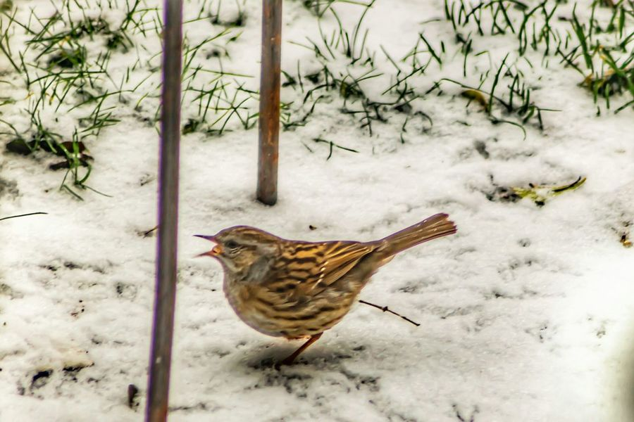 Dunnock One Animal Animal Themes No People Nature Animals In The Wild Bird Outdoors Snow Day Mammal Cold Weather Freeze Nature On Your Doorstep EyeEm Nature Lover Cold Temperature Winter Beauty In Nature EyeEm Nature Collection Birds Of EyeEm  Through The Window My Garden