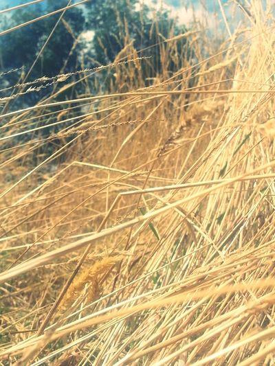 Grass In The Sun