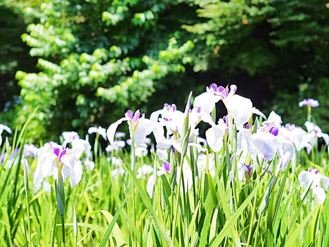 Flower Growth Nature Beauty In Nature Fragility Purple Freshness Plant Focus On Foreground Green Color Flower Head Blooming White Flower Iris Flower Iris 花菖蒲 Scenics Landscape Odawara Kanagawa,japan Olympus Om-d E-m10