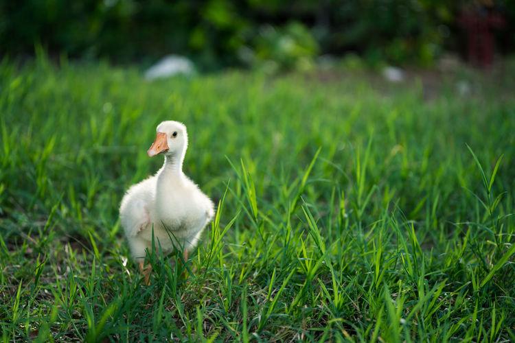 White duck on grass field