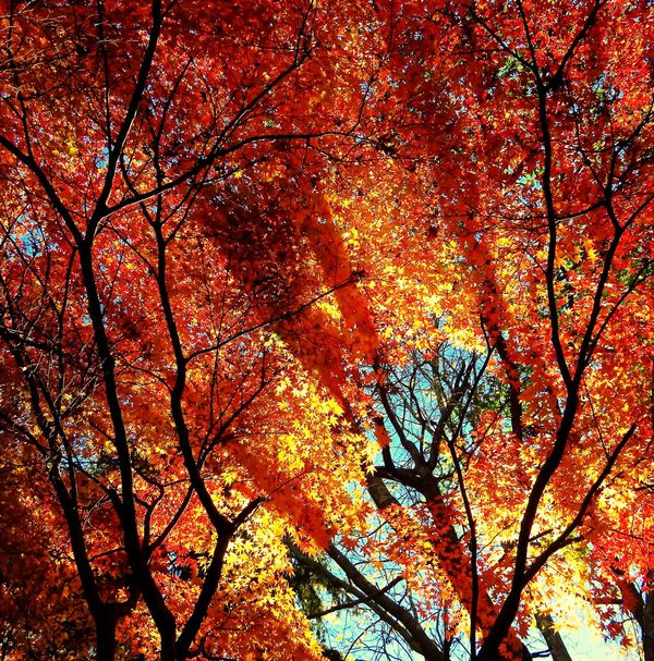 sun shining through the trees. Japanese Maple Light And Shadows Fall Color Autumn Autumn Colors Beauty In Nature Low Angle View