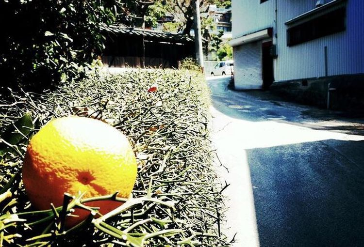 Orange Outdoors No People Day Sunlight Plant Architecture Close-up Nature Freshness Walking Around IPhoneography EyeEmNewHere The Secret Spaces Ehime,Japan Shikoku 興居島 Photooftheday Snap Snapshot Snapshots Of Life Smallisland Tranquil Scene Tranquility Beauty In Nature
