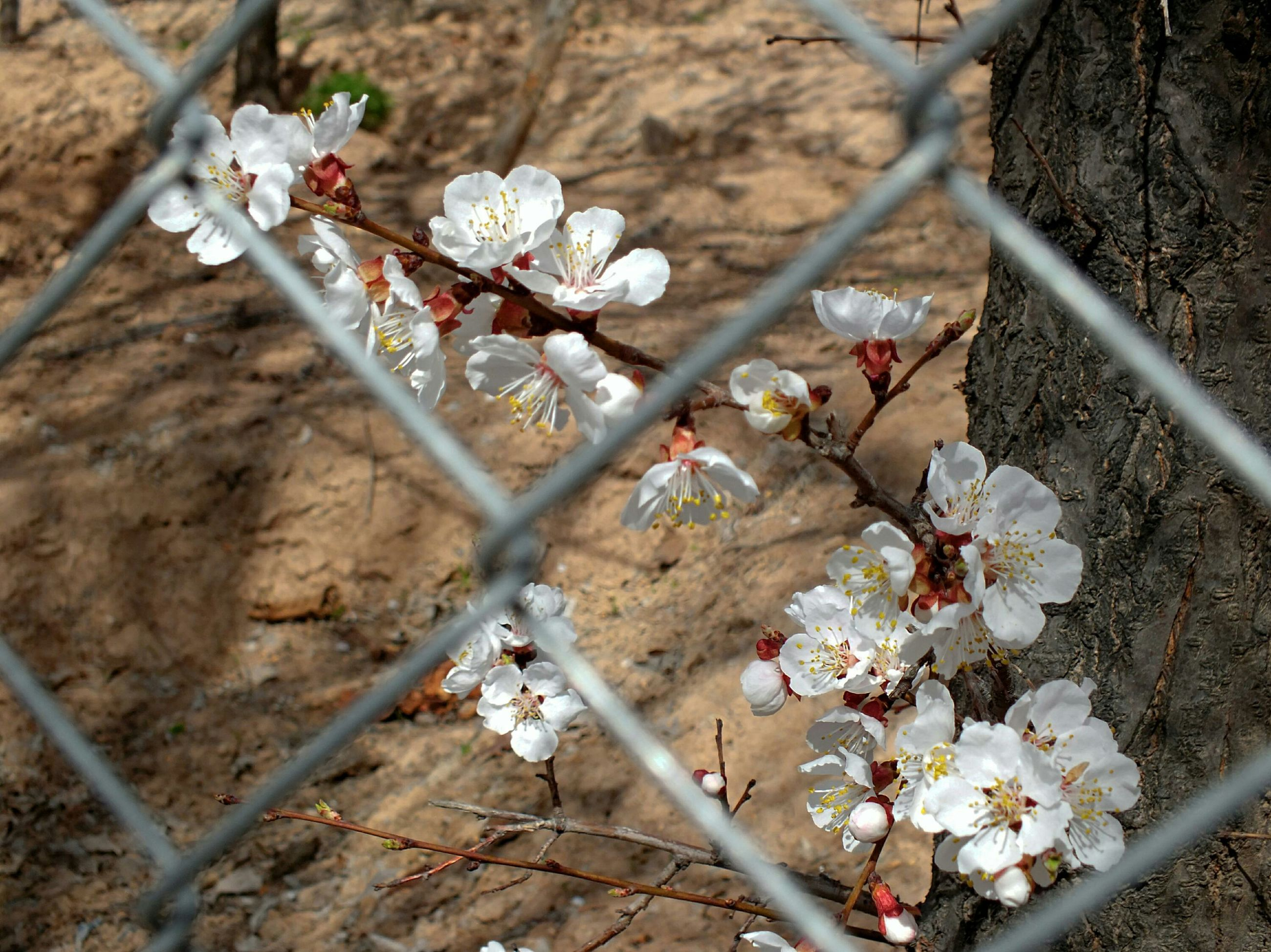 flower, fragility, freshness, white color, petal, growth, blossom, nature, cherry blossom, blooming, tree, branch, beauty in nature, cherry tree, high angle view, in bloom, flower head, day, springtime, plant