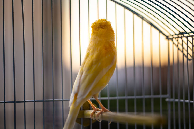 close up of a caged yellow canary bird Cage Animal Themes Animal One Animal Vertebrate Bird Animals In Captivity Birdcage Metal Animal Wildlife Trapped Parrot Yellow No People Indoors  Animals In The Wild Day Focus On Foreground Close-up Canary