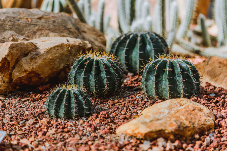 Still Life Succulent Plant Cactus Close-up Day No People Selective Focus Thorn Nature Spiked Growth Rock - Object Green Color Solid Rock Barrel Cactus Outdoors Focus On Foreground Land Field Natural Pattern Pebble Rock Desert Plants Hot