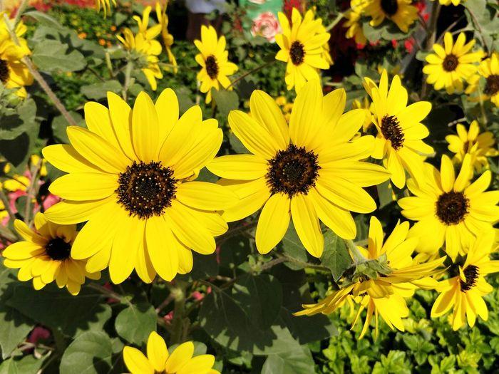 Sunflower Flower Yellow Petal Fragility Flower Head Nature Beauty In Nature Freshness Springtime