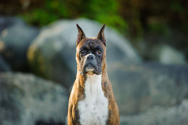 Close-Up Portrait Of Dog Standing Against Rock Formation