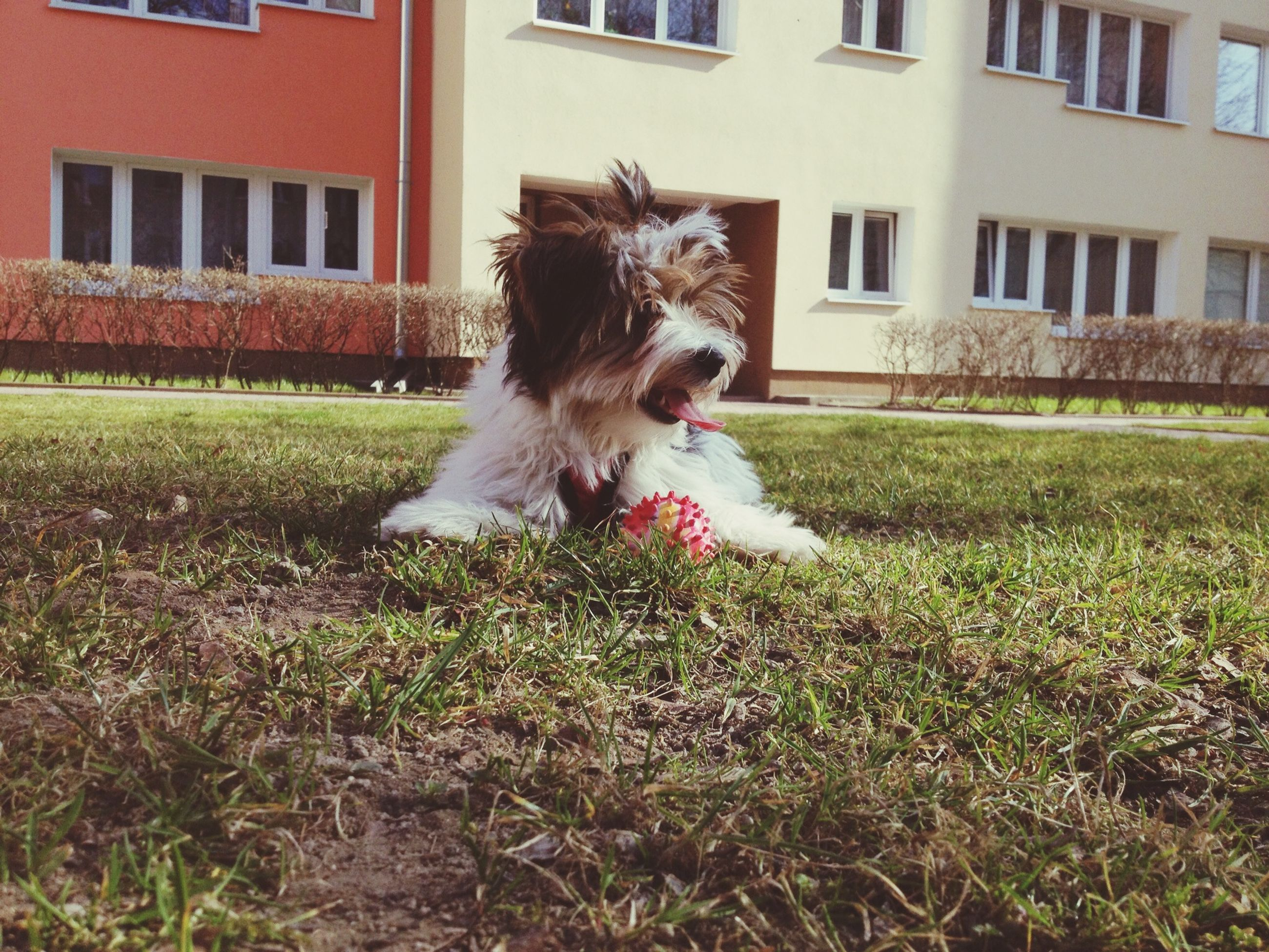 domestic animals, animal themes, grass, building exterior, one animal, architecture, built structure, pets, mammal, dog, lawn, house, field, grassy, front or back yard, day, no people, outdoors, plant, full length