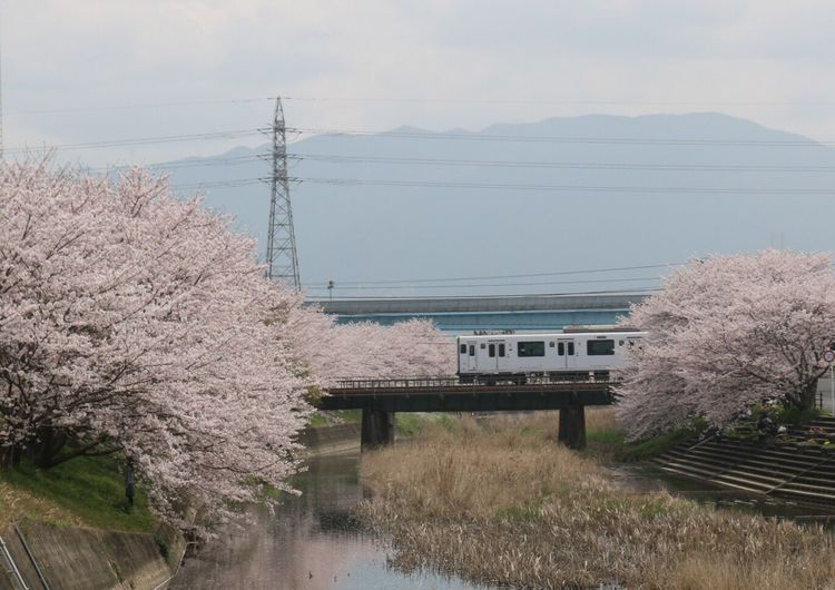 Metro train on railway bridge amidst cherry blossom trees against mountain