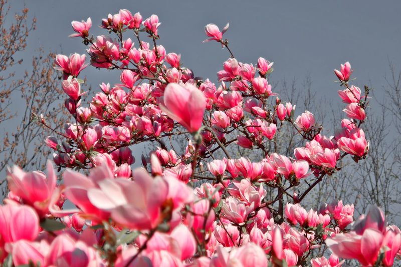 Flower Flowering Plant Pink Color Plant Fragility Vulnerability  Beauty In Nature Freshness No People Springtime Outdoors Spring Blossom Nature Petal Growth Magnolia Tree