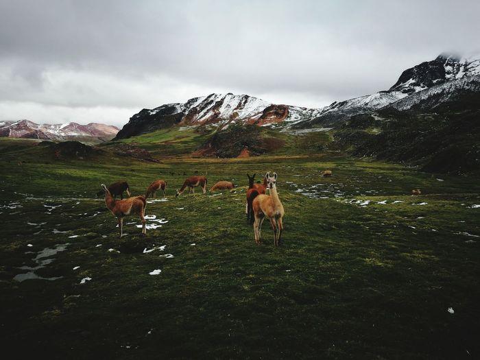 Nevado rajuntay - llamas