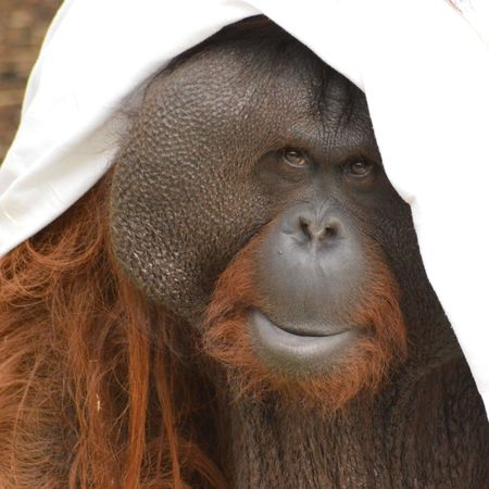 EyeEm Selects Animal One Animal Animal Wildlife Ape Animal Head  Portrait Mammal Orangutan Close-up Monkey Animal Themes Nature Outdoors No People