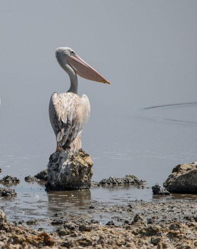 A pelican at lake magadi, rift valley, kenya