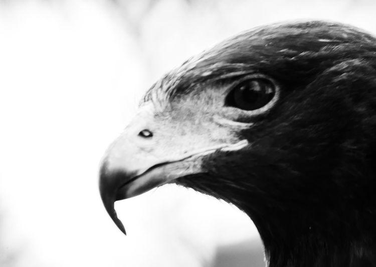 Animal Head  Animal Themes Animal Wildlife Animals In The Wild Beak Bird Bird Of Prey Close-up Day Focus On Foreground Goose Nature No People One Animal Outdoors