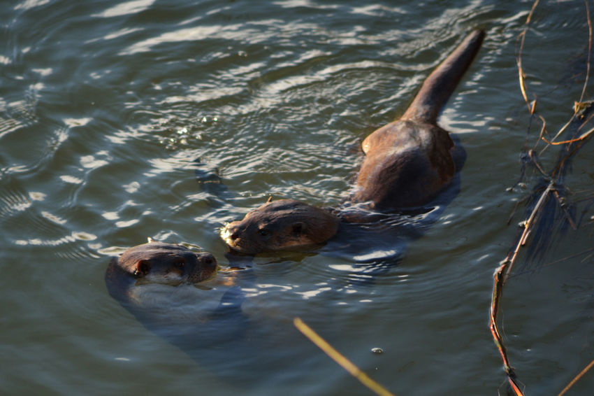 Animal Themes Animal Wildlife Animals In The Wild Beauty In Nature Day High Angle View Lake Mammal Mammals Nature No People Outdoors Swimming Water Bedford Otters Playing