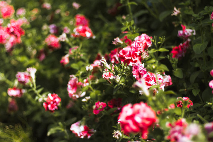 Red flowers blooming outdoors