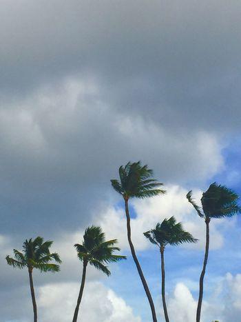 Cloud - Sky Palm Tree No People Tree Nature Blue Sky Gray Clouds Windy Windy Day Island Of Oahu, Hawaii Oahu Oahu, Hawaii Oahu Hawaii Oahu / Hawaii An Eye For Travel