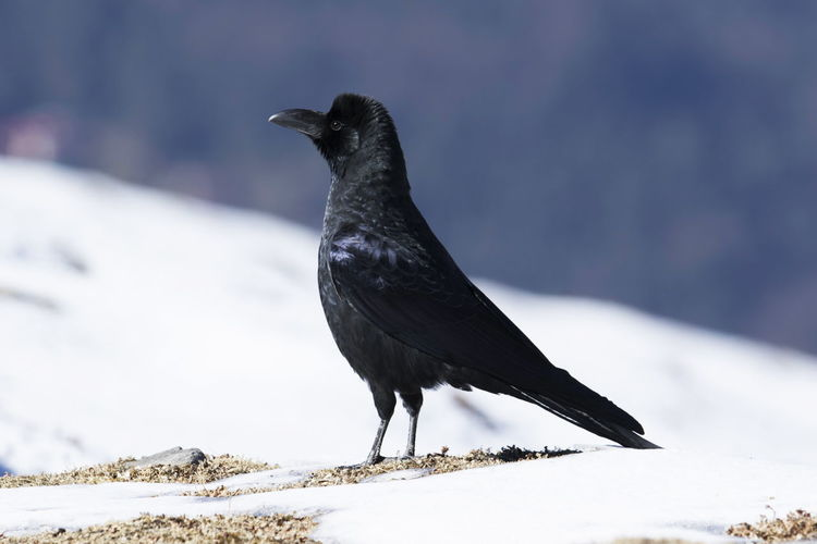 Close-up of bird perching on snow covered land