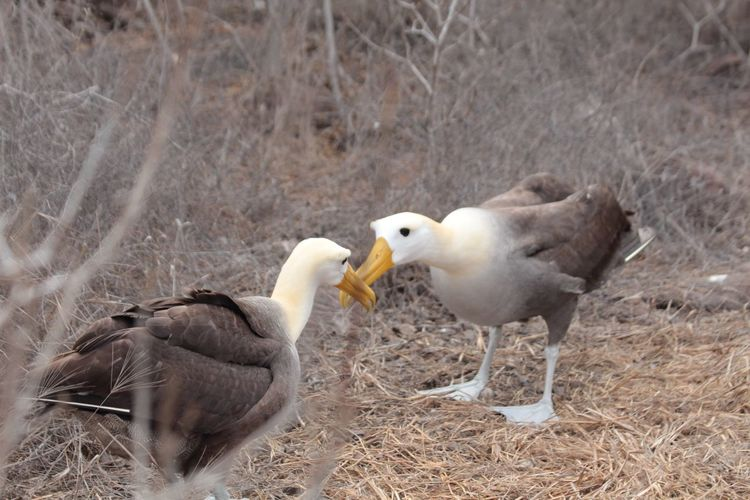 EyeEm Selects Albatross Albatrosses Mating Dance Animal Wildlife Animals In The Wild Birds Togetherness Nature Outdoors Beauty In Nature Galapagos Islands Galapagos Beak