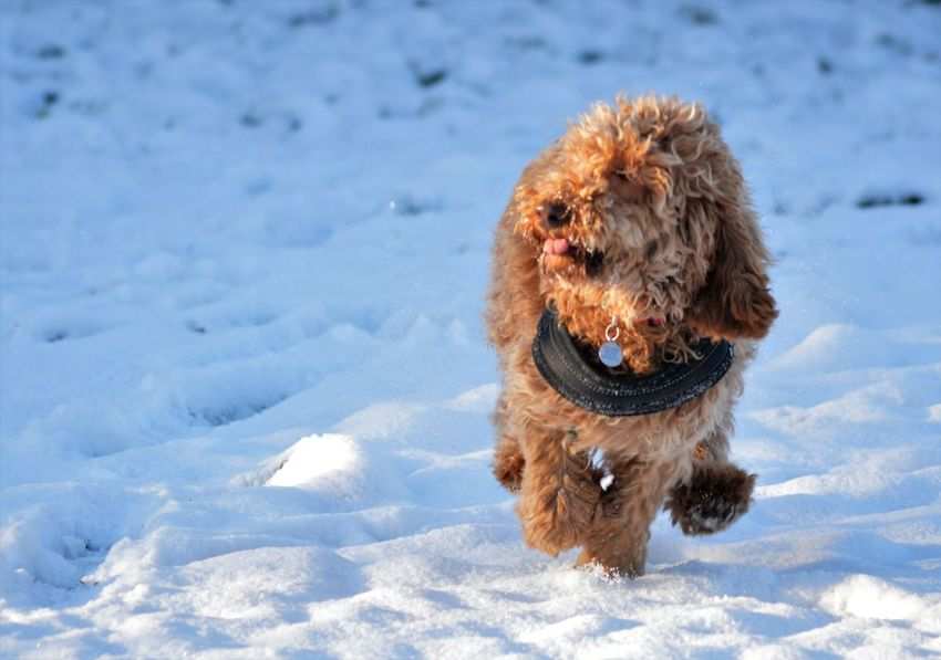 Cockapoo Dog Running Happy Dog Animal Themes Cold Temperature Day Dog Dog Running In The Snow Dog Running In The Snow Dog Running Towards Camera Domestic Animals Field Mammal Nature No People One Animal Outdoors Pets Snow Winter