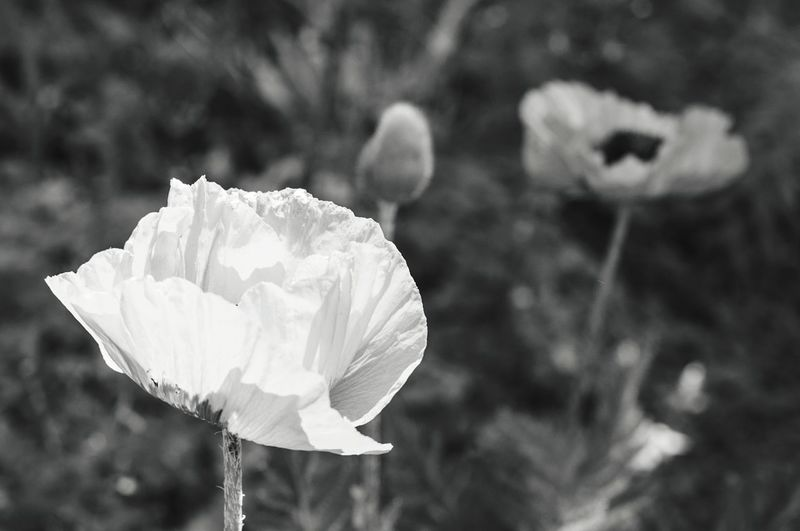 Mohn Poppy Sunlight Opium Poppy Fields Poppy Love Blackandwhite Seeds Garden Field Park City Urban Summer Growth Spring Flower Head Beauty In Nature Flower Leaf Plant Outdoors Nature Focus On Foreground Day EyeEmNewHere The Great Outdoors - 2017 EyeEm Awards