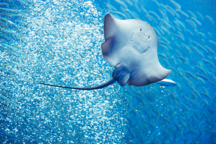 Low angle view of stingray swimming in sea
