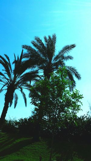 Tree Palm Tree Nature Growth Outdoors No People Clear Sky Day Sky Close-up Beauty In Nature