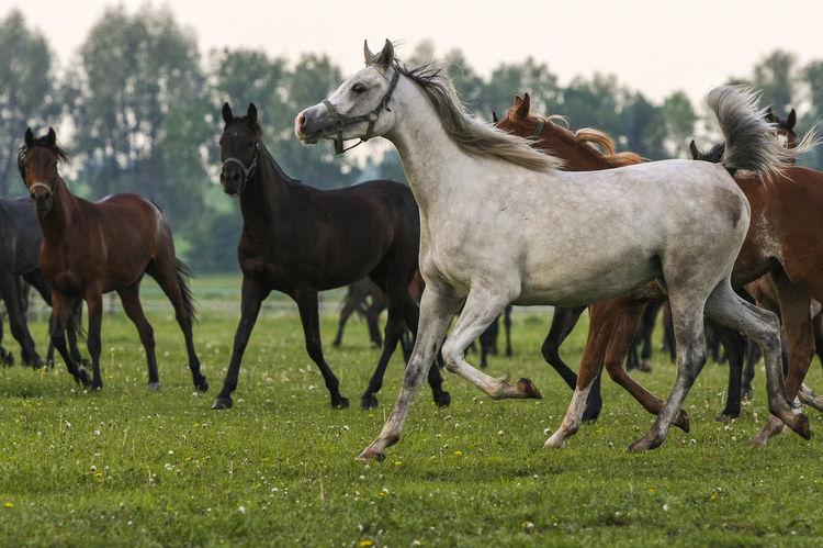 Animal Themes Arabian Horses Domestic Animals Gallop Galloping Grass Herd Of Horses Horse Horse Stud Horses Mammal Nature Outdoors