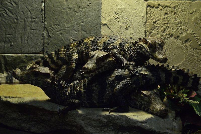 Crocodiles on display at Reptilia Zoo & Education Facility in Vaughan, Ontario Animals Crocodile Crocodiles Cute No People Reptile Display Reptile House Reptiles Reptilia Zoo & Education Facility