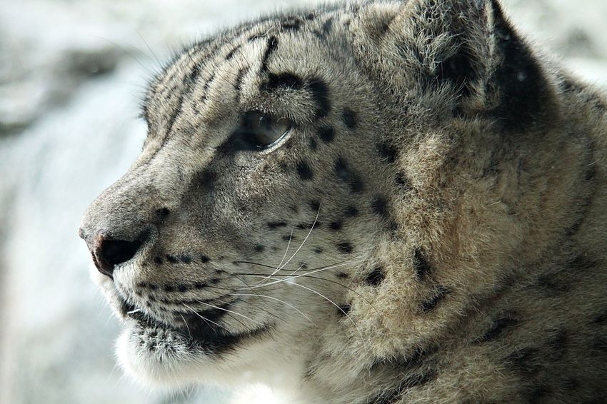 The Week On EyeEm Snowleopard Irbis Schneeleopard Animal Cat Big Cat Raubkatze Leipzig Zoo Canoneos Canonphotography Canon Zoo Leipzig One Animal Animal Themes Animal Head  Animals In The Wild Mammal Close-up Day No People Outdoors Leopard Close Up