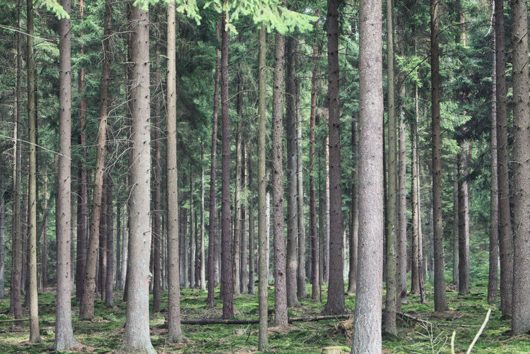 View of spruce trees in forest