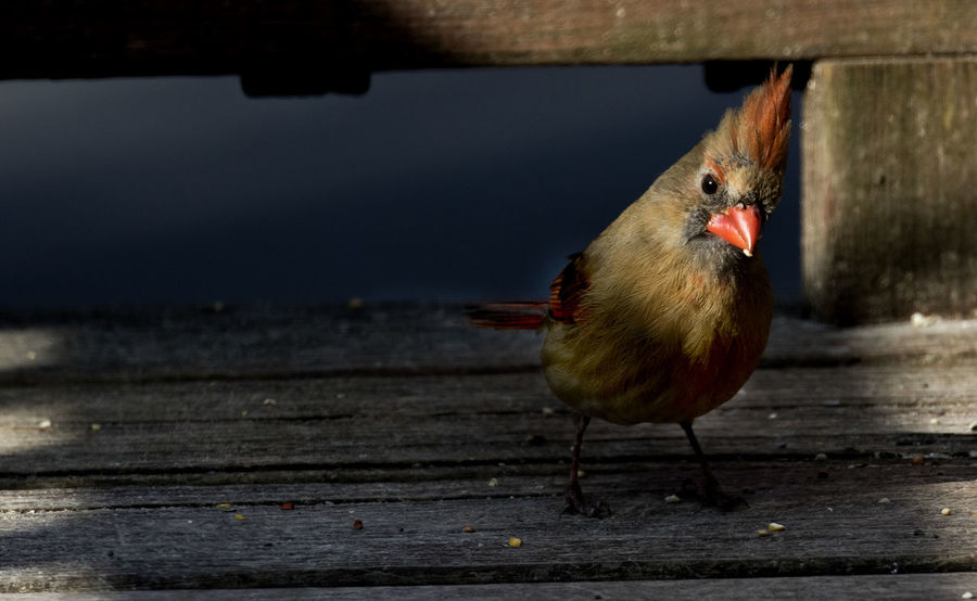 Deep shadows Curiousity Northern Cardinal Female Animal Themes Animals In The Wild Bird Close-up Day Deck Deep Shadow Nature No People One Animal Outdoors Perching Shafts Of Light Wood - Material