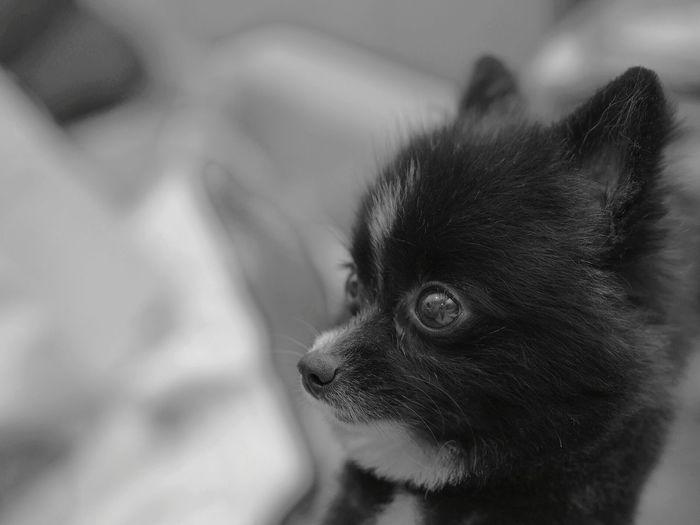 Pomeranian Pets Domestic Animals Dog Indoors  Close-up Pet Portraits