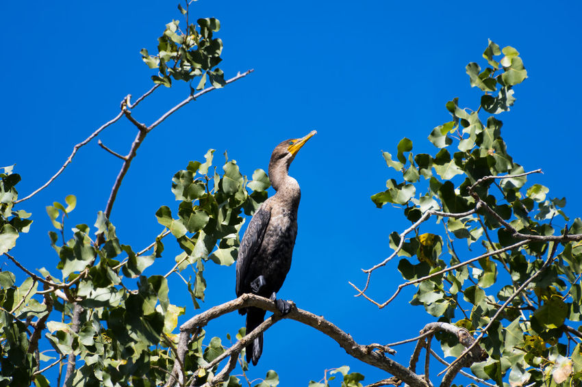 Cormorant  Animal Themes Animal Wildlife Animals In The Wild Beauty In Nature Bird Blue Branch Clear Sky Day Growth Low Angle View Nature No People One Animal Outdoors Perching Sky Sunlight Tree