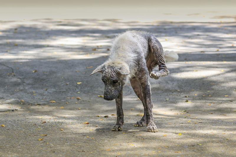 Diseased dog walking on beach