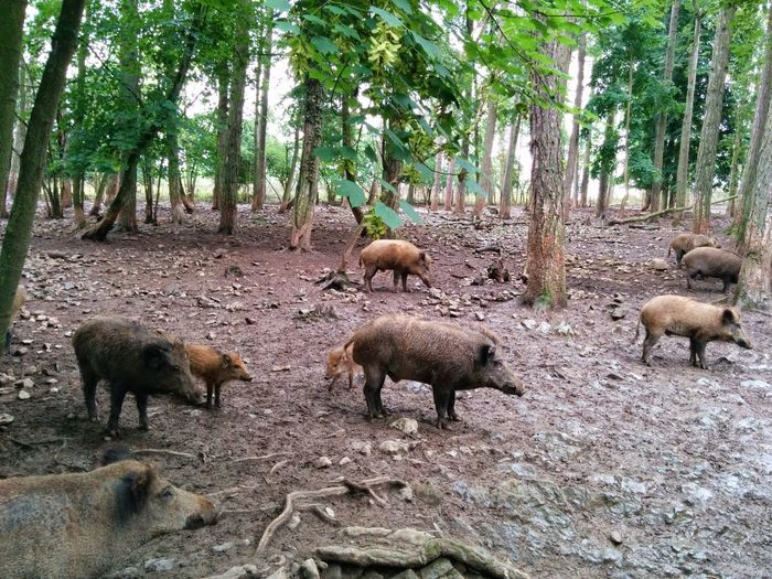 hogs in forest Forest First Eyeem Photo