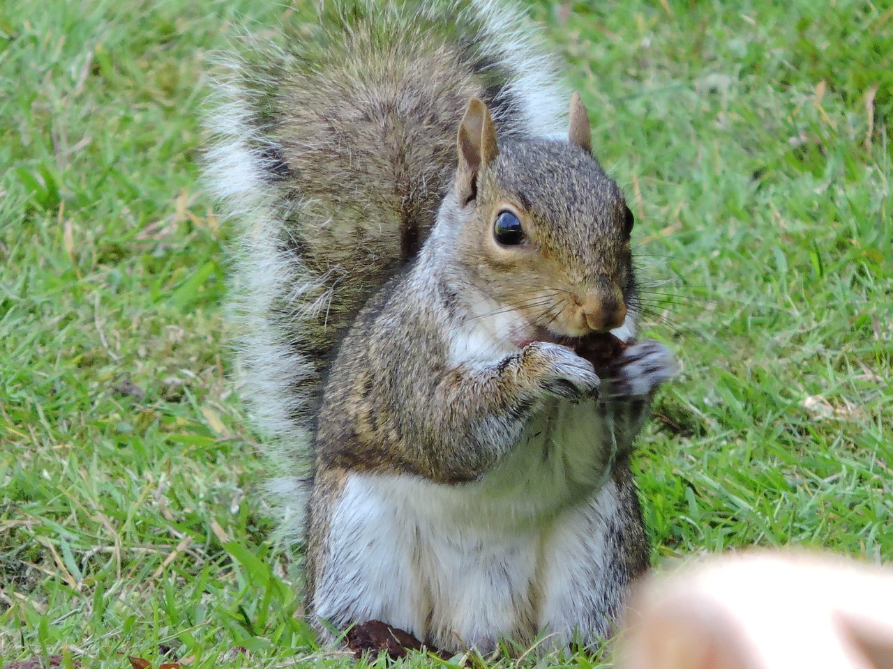 animal themes, grass, animals in the wild, one animal, squirrel, mammal, animal wildlife, outdoors, day, nature, field, no people, close-up, eating