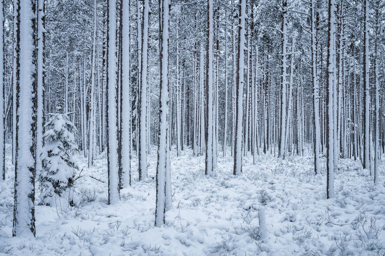 First snow is snowing at winter evening in forest Finland Bright Finland Light Moment Nature Beauty In Nature Blue Cold Temperature Covered Day Evening Forest Landscape Nature No People Nobody Outdoors Pattern Scenics Snow Tranquil Scene Tranquility Tree White Winter