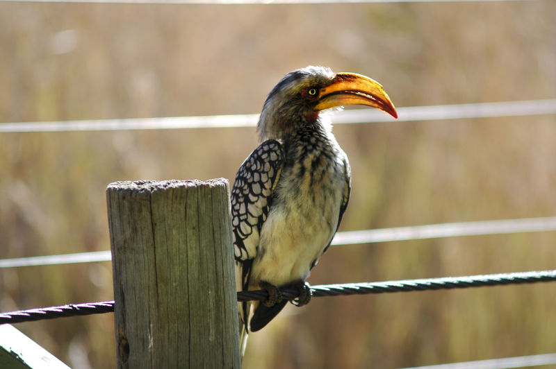 Close-up of hornbill perching on wire