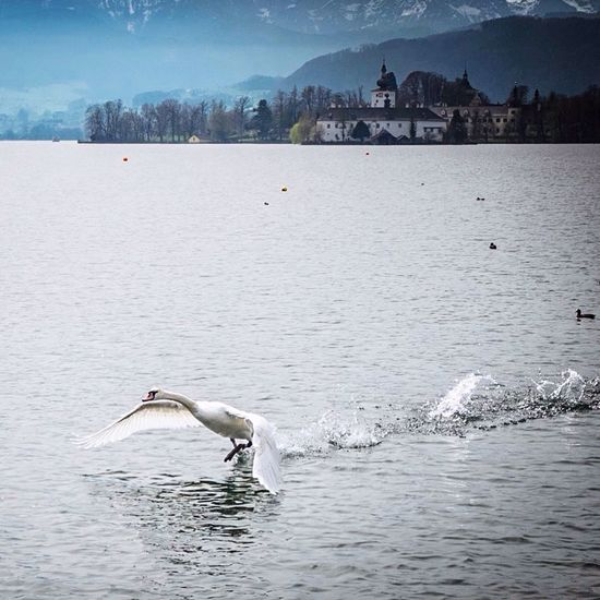 ready for take off. 😎 Swan Traunsee Gmunden Austria Upperaustria Austria ❤ Austrianphotographers Austrianblogger Animals Lake Spring Flying Travelphotography Salzkammergut Landscape_Collection FUJIFILM X-T10 Wildlife Fujifilm