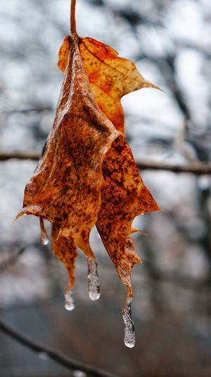 Beauty In Nature Close-up Day Droplet Focus On Foreground Fragility Frozen Leaf Macro Nature No People Outdoors