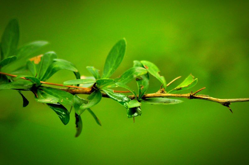Leaf Nature Close-up Green Color Growth Plant Outdoors Murree, Pakistan Tree Nature Freshness Blooming