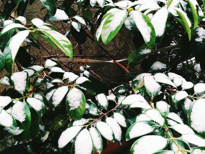 Nature Nature_collection Nature Photography Leaf Leaves Snow Green Color Pattern All_shots EyeEm Best Shots EyeEm Nature Lover EyeEm Gallery Eye4photography  Flowers,Plants & Garden Growth Beauty In Nature